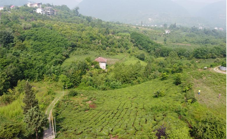 باغ چای کوهپایه تنکابن