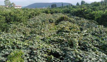 باغ کیوی تنکابن